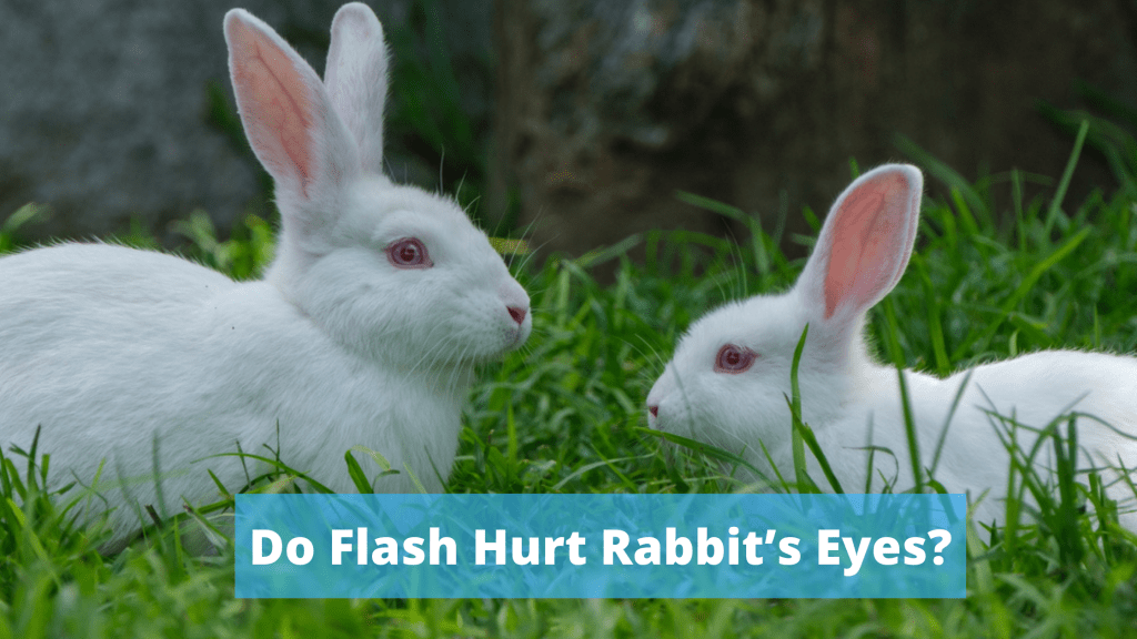 Do Flash Hurt Rabbit's Eyes?